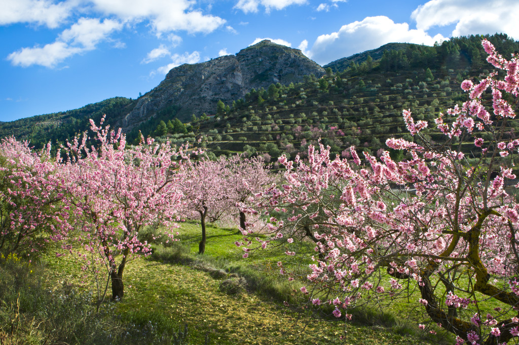 ASIA LP Almond Grove